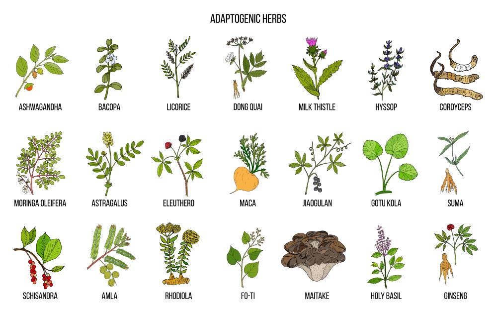 Plantes adaptogènes : comment bien profiter ces bienfaits ?