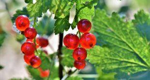 régime fruits rouges