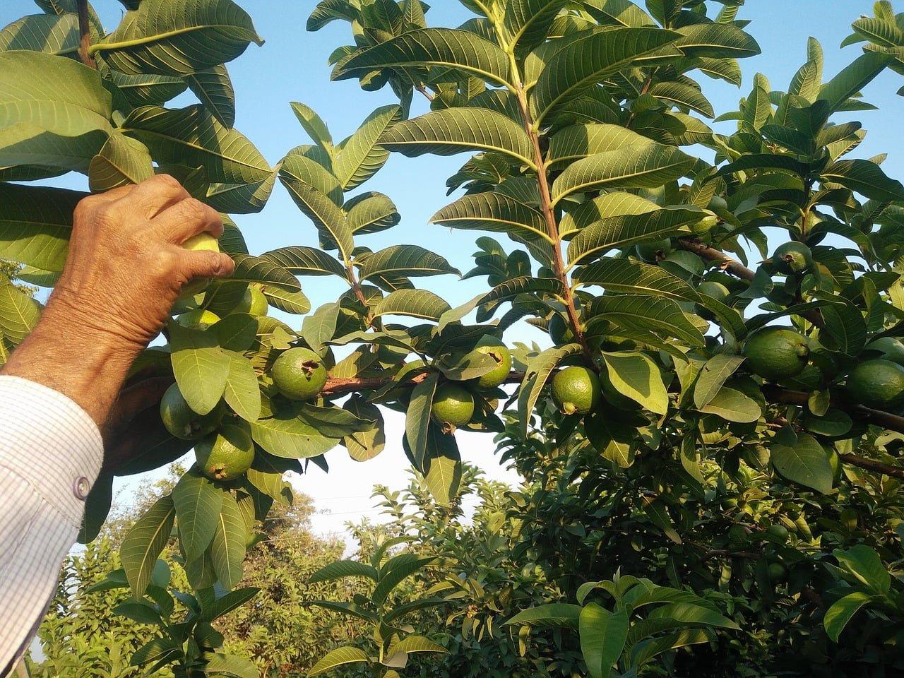 feuilles de goyavier