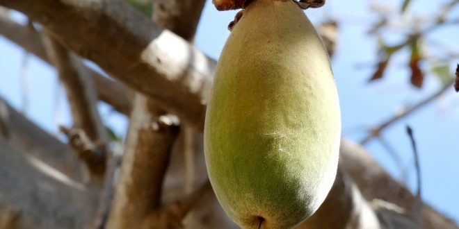 les graines de baobab