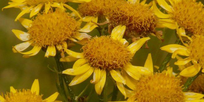 Arnica – un remède doté de multiples bienfaits