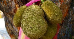 les vertus et bienfaits du fruit du jacquier